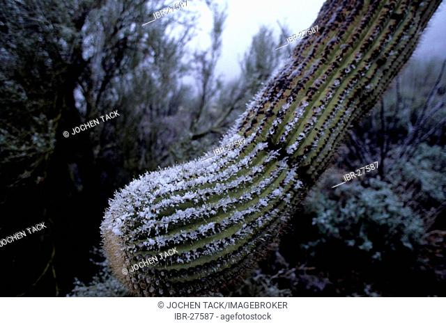 USA, United States of America, Arizona: Snow on a Saguaro cactus
