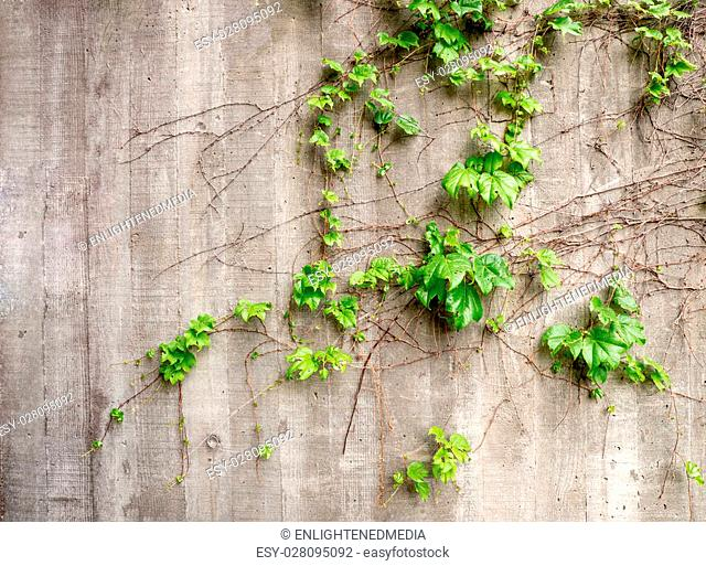 Lush green vines growing on side of weathered old concrete wall