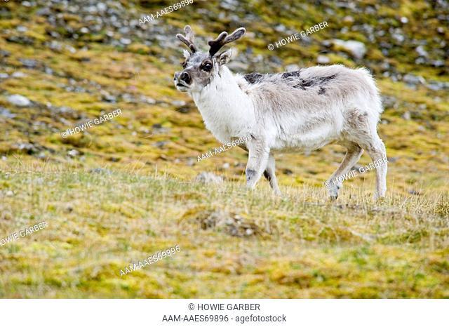 Spitsbergen Reindeer is plumper and has shorter legs, near Isfjorden ,Spitsbergen Island, Norway. nearest port is Longyearbyen, Norway