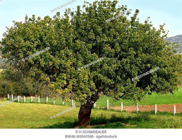 carob bean, St. John's bread Ceratonia siliqua, single tree, Spain, Majorca