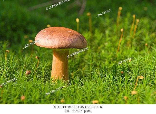 Bay Bolete mushroom (Xerocomus badius)