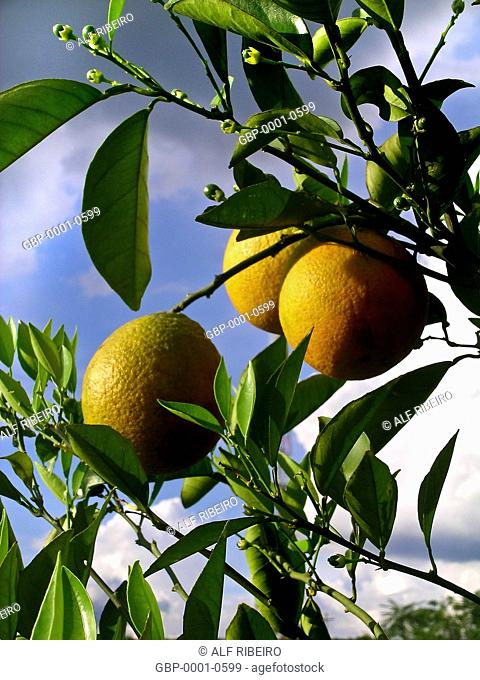 Orchard orange, juice manufacturing, Colorado farm, municipality, Araras, São Paulo, Brazil