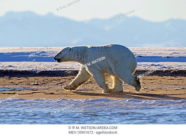 Polar Bear - adult walking next to water (Ursus maritimus). Kaktovik, Arctic National Wildlife Refuge, Alaska, United States