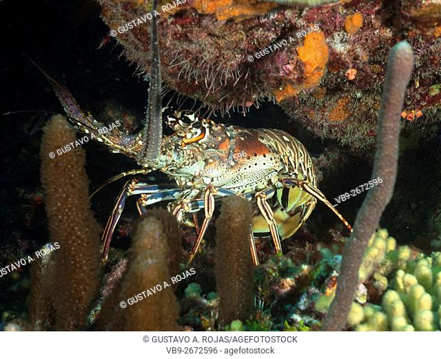 Spiny Lobster (Panulirus argus).on the reef