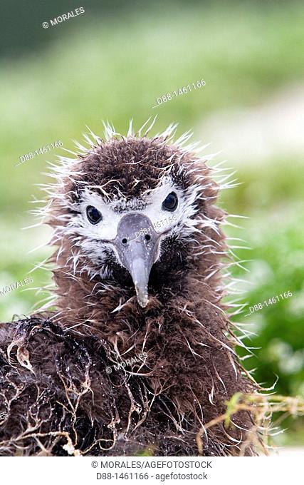 Laysan Albatross (Phoebastria immutabilis), young, Eastern Island, Midway Atoll National Wildlife Refuge, Hawaii, USA