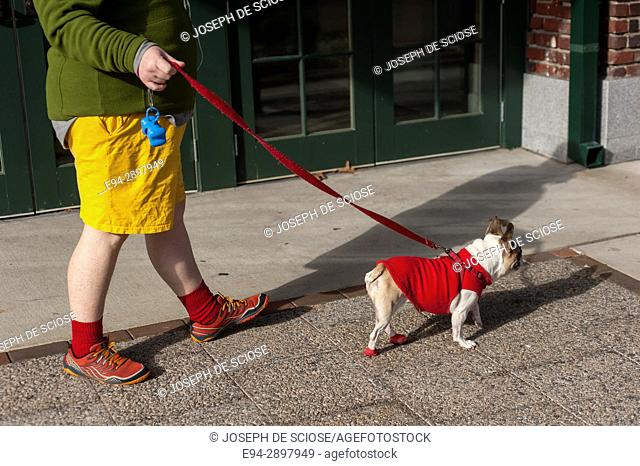 Partial view of a man's legs walking a bull dog on a leash. The man is wearing yellow shorts and red socks and the dog is wearing a red sweater