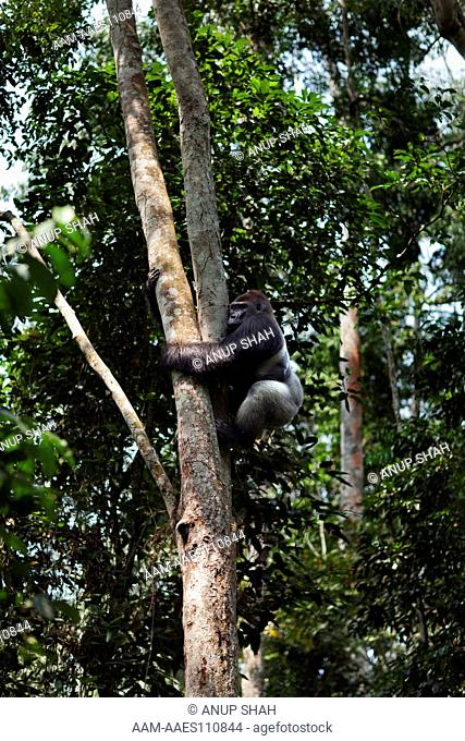 Western lowland gorilla dominant male silverback 'Makumba' aged 32 years climbing down a tree (Gorilla gorilla gorilla). Bai Hokou