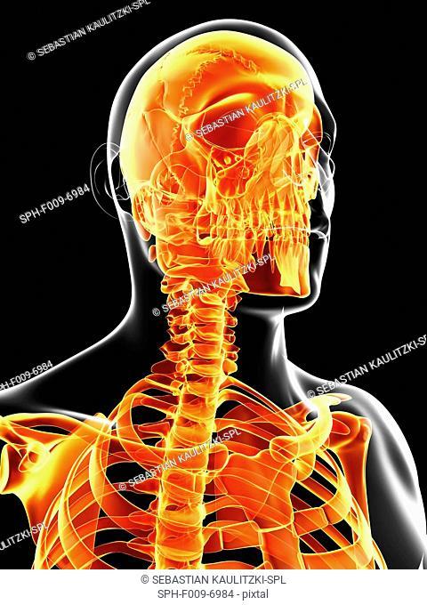 Human skull and neck bones, computer artwork