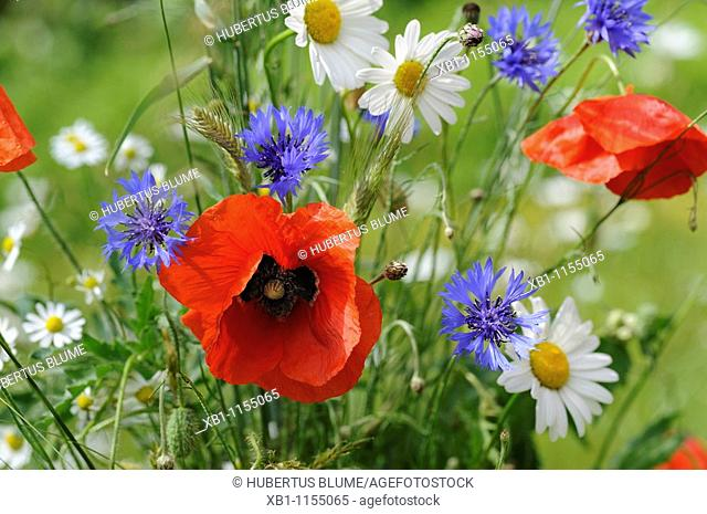 Meadow with poppies, cornflowers and daisies