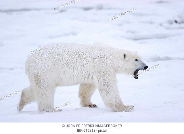 Yawning Polar Bear (Ursus maritimus), Churchill, Manitoba, Canada
