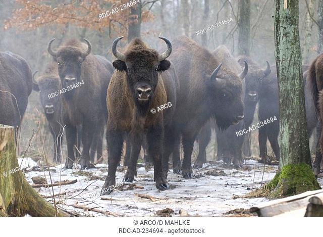 European Bisons, Masuria, Poland, Bison bonasus