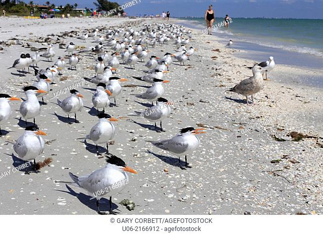 A flock of royal terns amid seashells at Sanibel Beach on Sanibel Island, Florida, USA