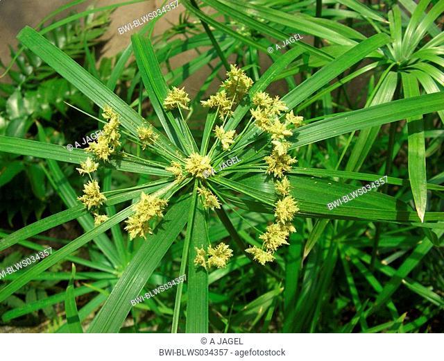 umbrella plant Cyperus alternifolius, inflorescence