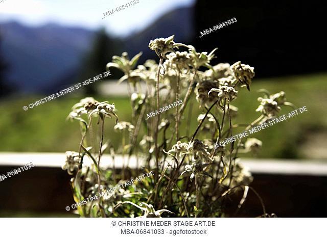 Edelweiss, on an alpine pasture, Switzerland