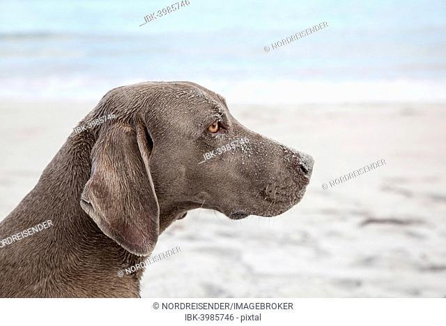 Weimaraner, hunting dog, on a beach, portrait