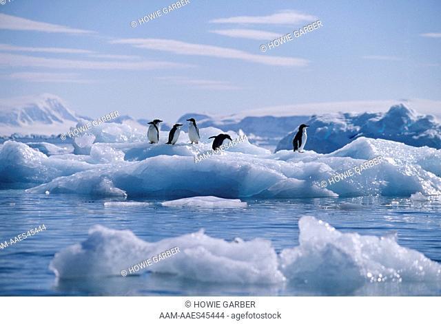 6 Adelie Penguins (Pygoscelis adeliae) on an iceberg , Antarctic Peninsula