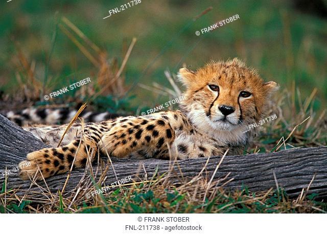 Cub of cheetah Acinonyx jubatus lying in field
