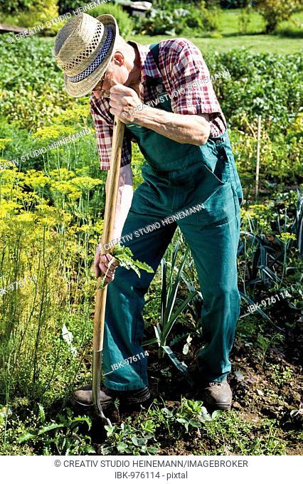 Gardener with spade working in his garden patch