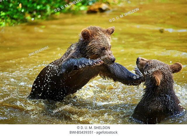 European brown bear (Ursus arctos arctos), juveniles romping in water, Germany, Bavaria, Bavarian Forest National Park