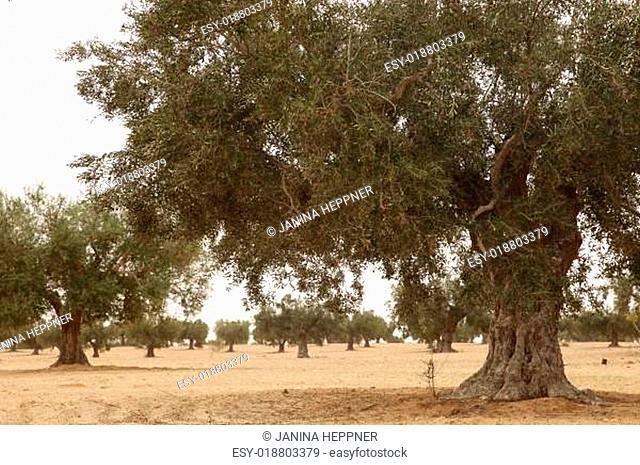 Olivenhain in Tunesien