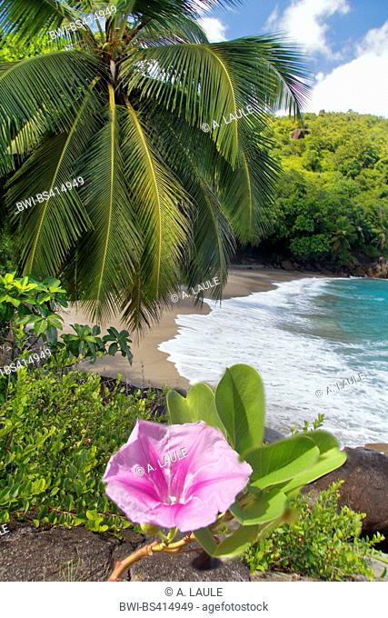 beach morning glory (Ipomoea pes-caprae), beach with a coconut tree and the blooming morning glory, Seychelles, Mahe, Anse Major