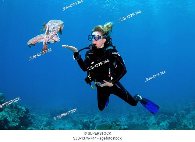 A diver interacting with a pair of friendly porcupine pufferfish Diodon hystrix, also called spot-fin porcupinefish, South Ari Atoll, The Maldives