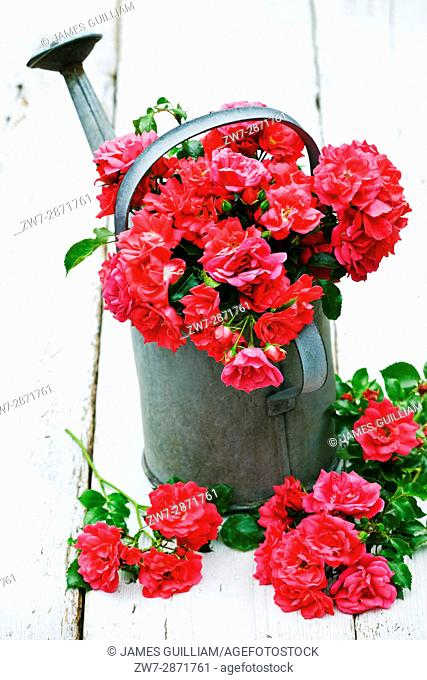 Roses from the garden in vintage weathered metal watering can