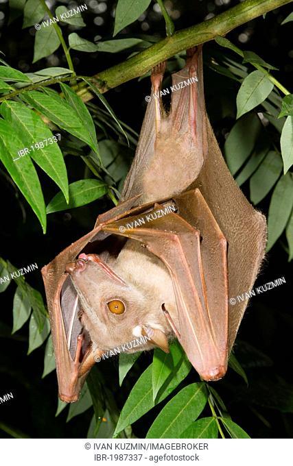 Hammer-headed bat or Big-lipped bat (Hypsignathus monstrosus), female, roosting, Democratic Republic of the Congo, Africa