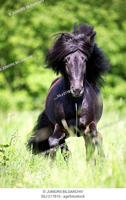 Icelandic Horse. Black stallion galloping on a pasture. Austria
