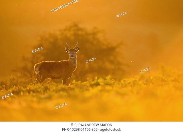 Red Deer (Cervus elaphus) 'Pricket' immature stag, backlit at dusk, during rutting season, Bradgate Park, Leicestershire, England, October