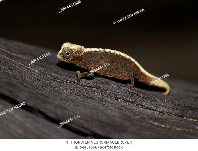 Pygmy Chameleon Or Dwarf Chameleon Stock Photos And Images Age