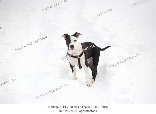 American Staffordshire Terrier playing in snow, Alto de Iturrieta, Opacua, Alava, Basque Country, Spain