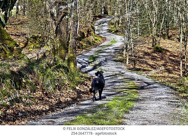 Path at forest with dog, Asturias, Spain