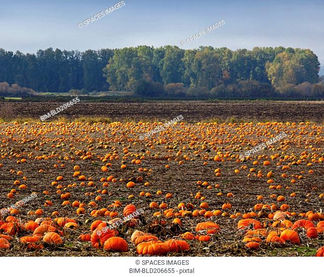 Pumpkin Field in Autumn
