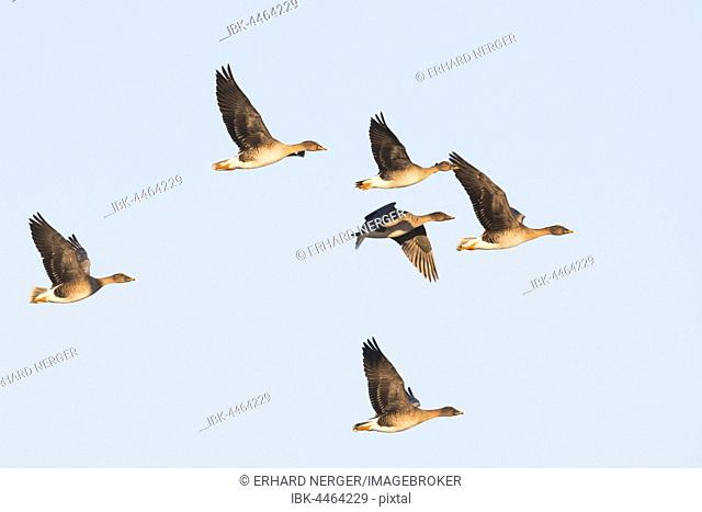 Bean geese (Anser fabalis) flying, Emsland, Lower Saxony, Germany