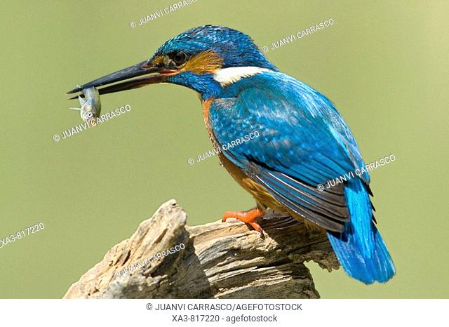 Common kingfisher , Alcedo atthis , perched with fish