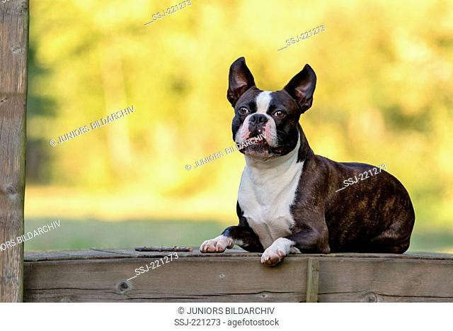 Boston Terrier. Adult dog lying on a wooden bridge in evening light. Germany