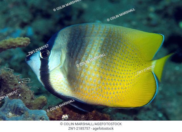 Blacklip Butterflyfish (Chaetodon kleinii), Laha 2 dive site, Ambon, Indonesia