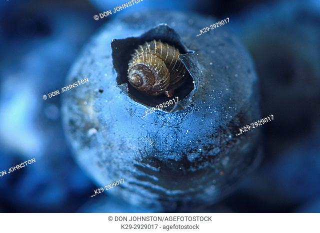 Boreal Top snail (Zoogenetes harpa) resting in the tip of a blueberry, Dowling, Ontario, Canada