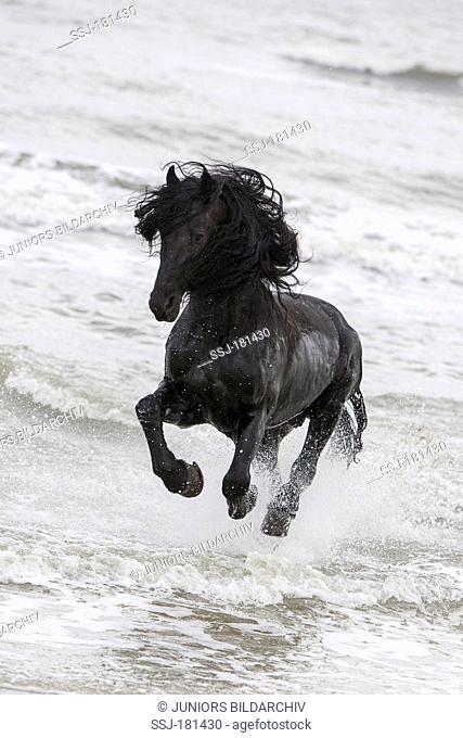 Friesian Horse. Black stallion galloping in surf, Romania