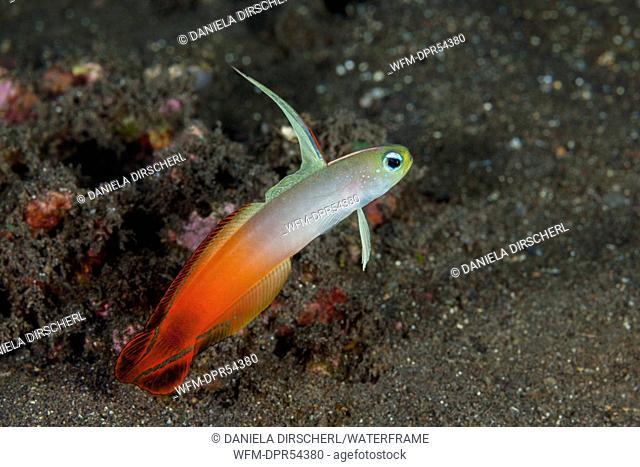 Fire Dartfish, Nemateleotris magnifica, Bali, Indonesia