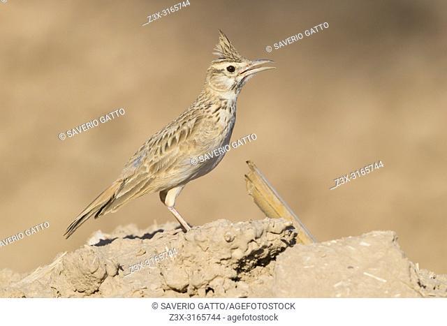 Maghreb Lark (Galerida macrorhyncha randonii), adult standing on the ground