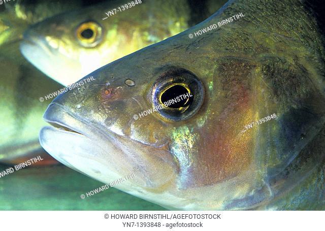 Close up of Australian salmon Arippis trutta underwater