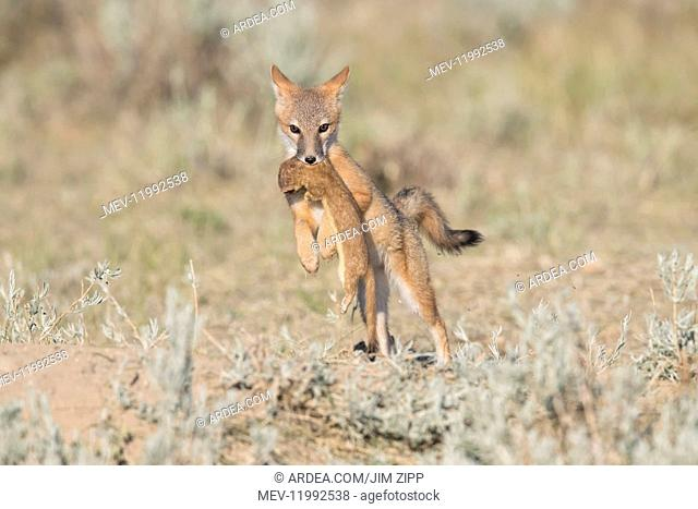 Swift Fox - Vulpes velox - This is a den in short grass and short sage in southern Wyoming - They are a small light orange-tan fox around the size of a domestic...