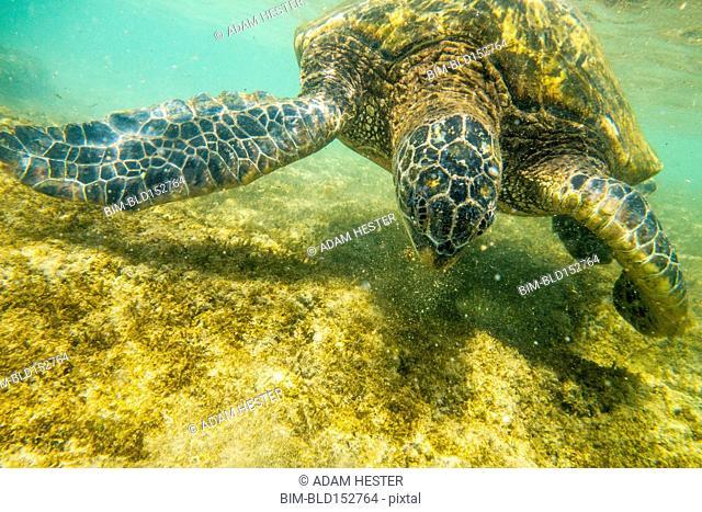 Close up of sea turtle swimming underwater