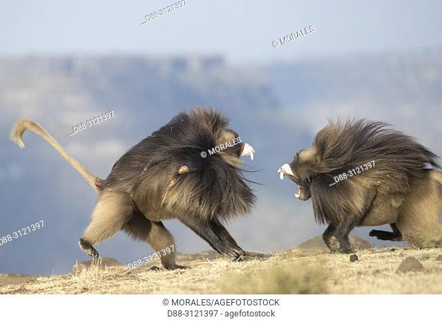 Africa, Ethiopia, Rift Valley, Debre Libanos, Gelada or Gelada baboon (Theropithecus gelada), fight between two males