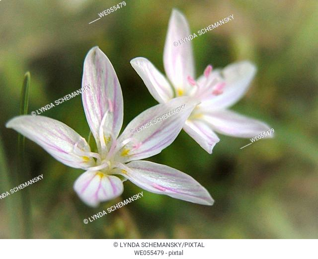 Spring Beauty (Claytonia virginica) blooms