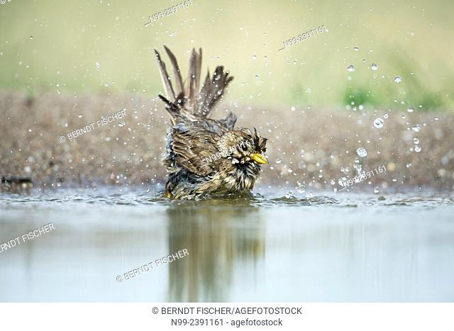Corn bunting (Emberiza calandra), bathing in small pond, Bulgaria