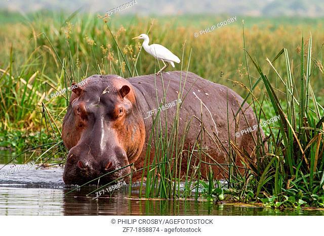 Hippopotamus Hippopotamus amphibius with Cattle Egret Bubulcus ibis on back, in reeds at edge of River Nile at Murchison Falls National Park, Uganda