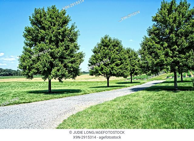 New Jersey, Cranbury. Large Trees on Open Farmland, Paved Lane Between Trees